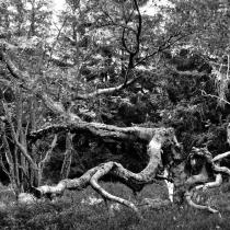 Krkonoše - Rýchory -Rýchorský prales